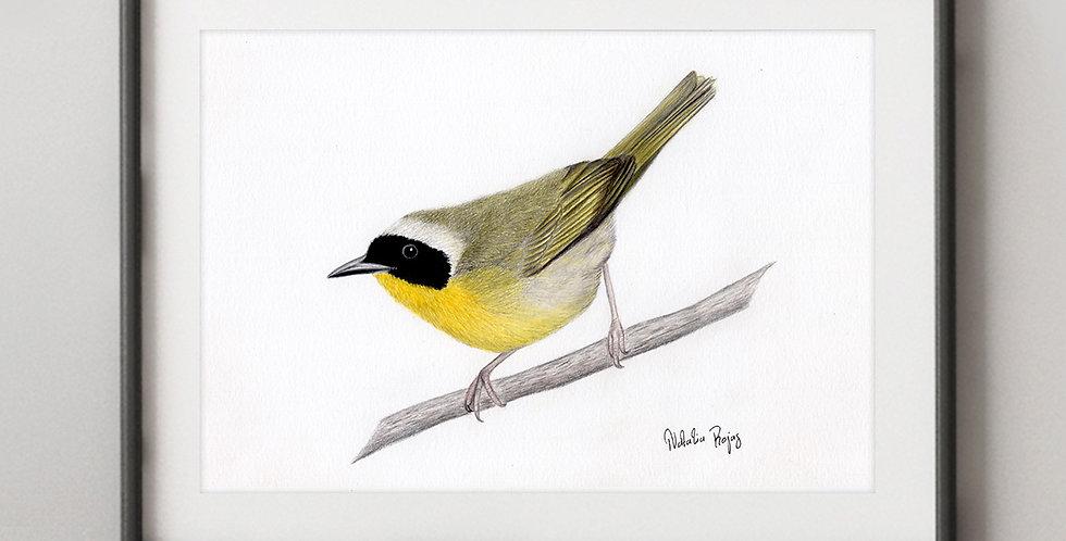 Common Yellowthroat (Common yellowthroat)