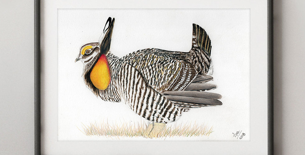 Greater Prairie-Chicken (Tympanuchus cupido),