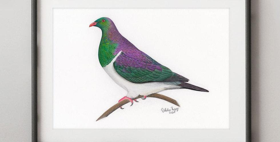 Kererū (Hemiphaga novaeseelandiae)