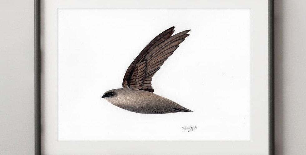 Vaux's Swift (Chaetura vauxi)