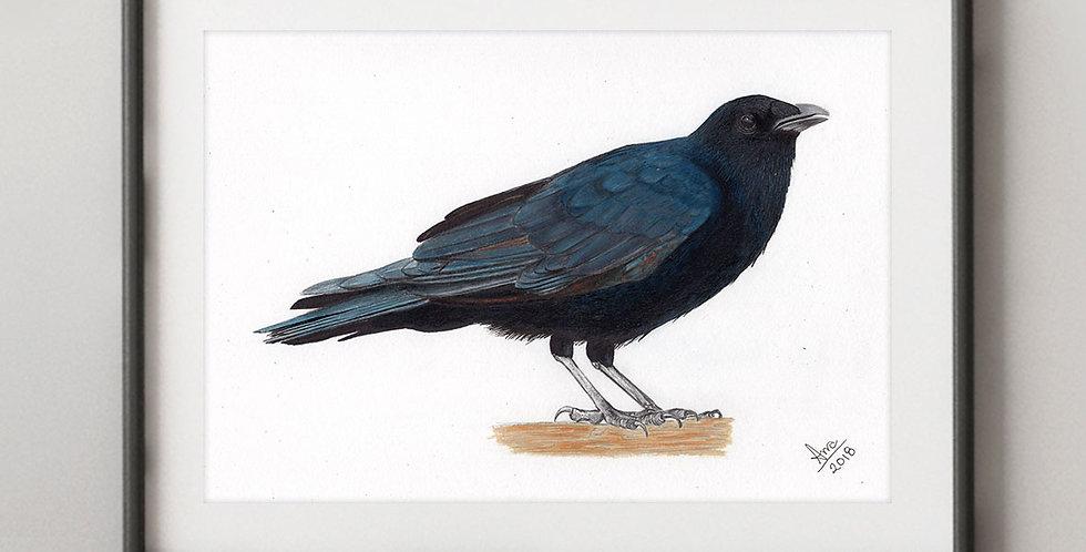 Fish Crow (Corvus ossifragus)