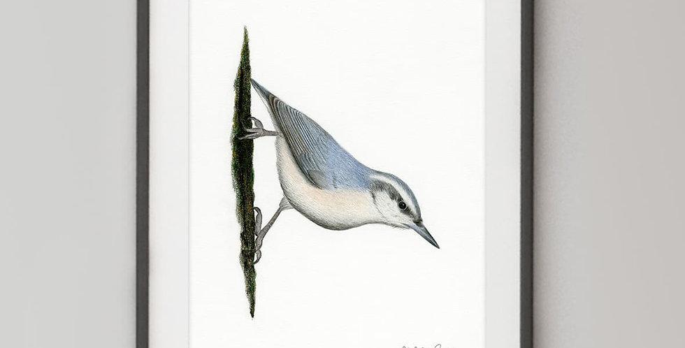 Corsican Nuthatch (Sitta whiteheadi)