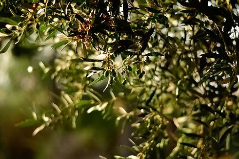 olive tree 220221.jpg
