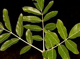 Kigelia africana sausage tree.jpg