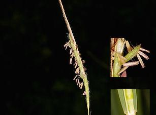 speargrass q.jpg