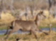 Common Waterbuck.jpg