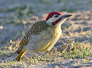 Bennet's Woodpecker.jpg