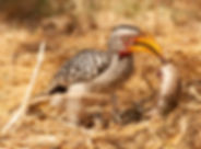 Hornbill Yellow-billed20080603_0818.jpg