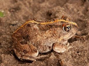 Tremelo Sand Frog.jpg