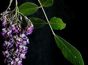 Philonoptera violacea rain tree.jpg