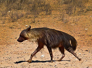 Brown Hyaena.jpg