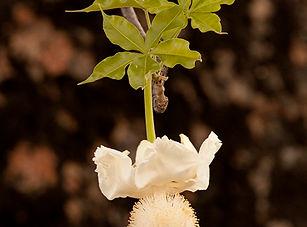 Adansonia digitata Baobab.jpg