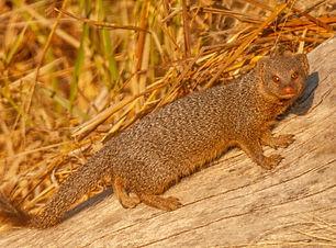 Slender Mongoose.jpg