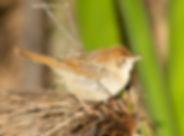 Cisticola Rattling175.jpg