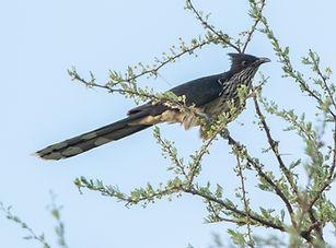 Levaillant's Cuckoo.jpg