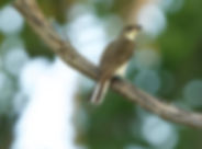 Greater Honeyguide.jpg