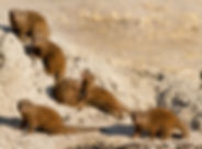 Dwarf Mongoose.jpg
