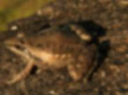 Plain Grass Frog.jpg