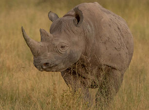 Black Rhinoceros.jpg