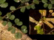 Acacia nigrescens-34.jpg