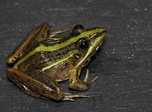 Speckle-bellied Grass Frog.jpg