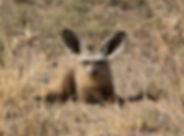 Bat-eared Fox.jpg
