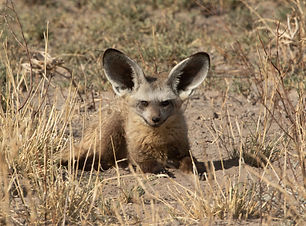 Bat-eared Fox.jpg