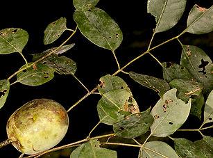 Sclerocarya birrea Marula-92378.jpg
