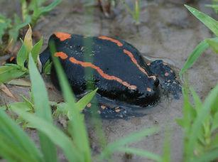 Banded Rubber Frog.jpg