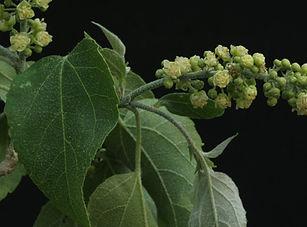 Croton megalabotrys934-Edit.jpg