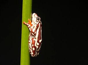 Angolan Reed Frog.jpg