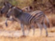 Zebra fighting0152.jpg