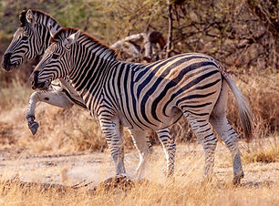 Zebra fighting0152.jpg