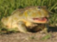 Giant Bullfrog.jpg