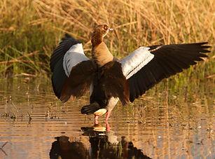 Goose Egyptian20071102_1032.jpg