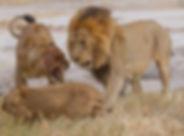 Lions Khwai pride20120605_1875.jpg