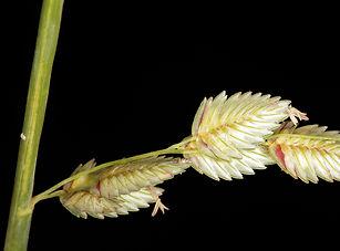 Eragrostis.jpg