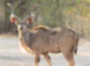 Kudu-89.jpg