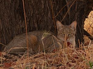 African Wildcat.jpg