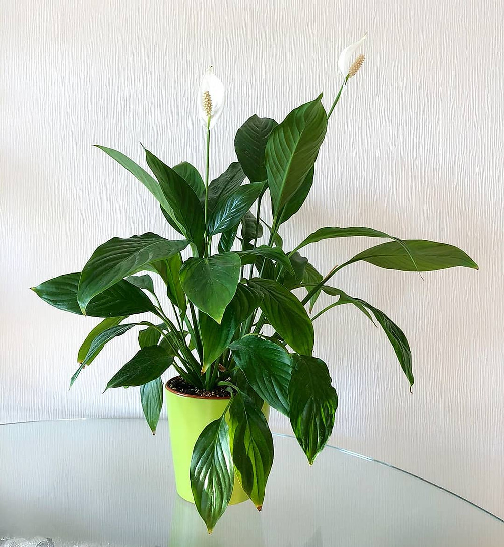 Peace Lily Spathiphyllum Purifying Houseplants Health