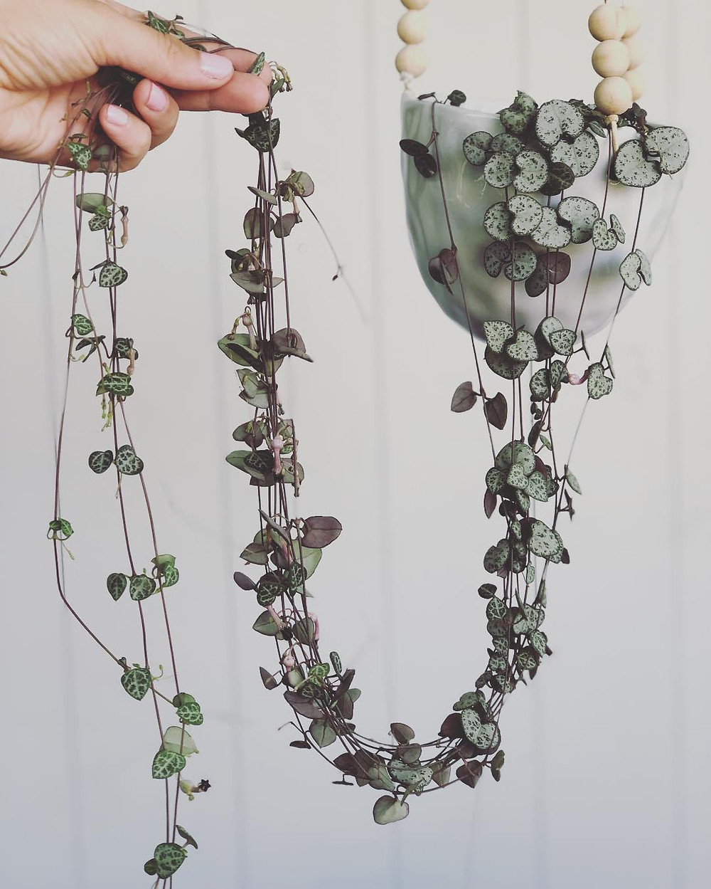 String Of Hearts Trailing Plants Hanging Houseplants
