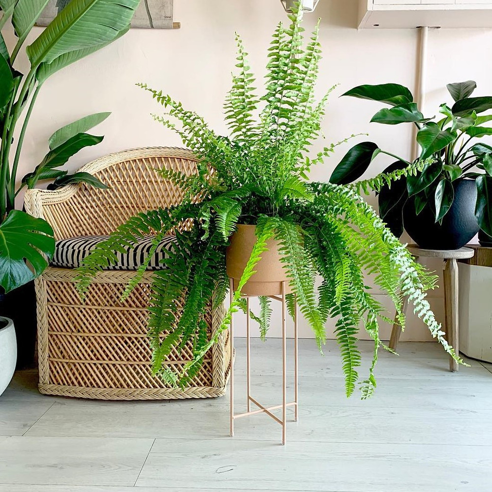 Low Light Houseplant Boston Fern