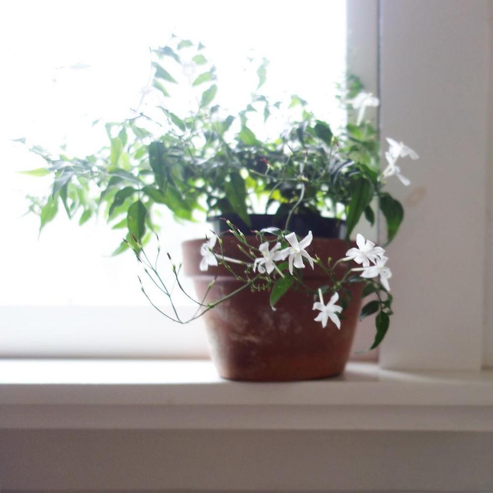 Jasmine Scented Houseplant