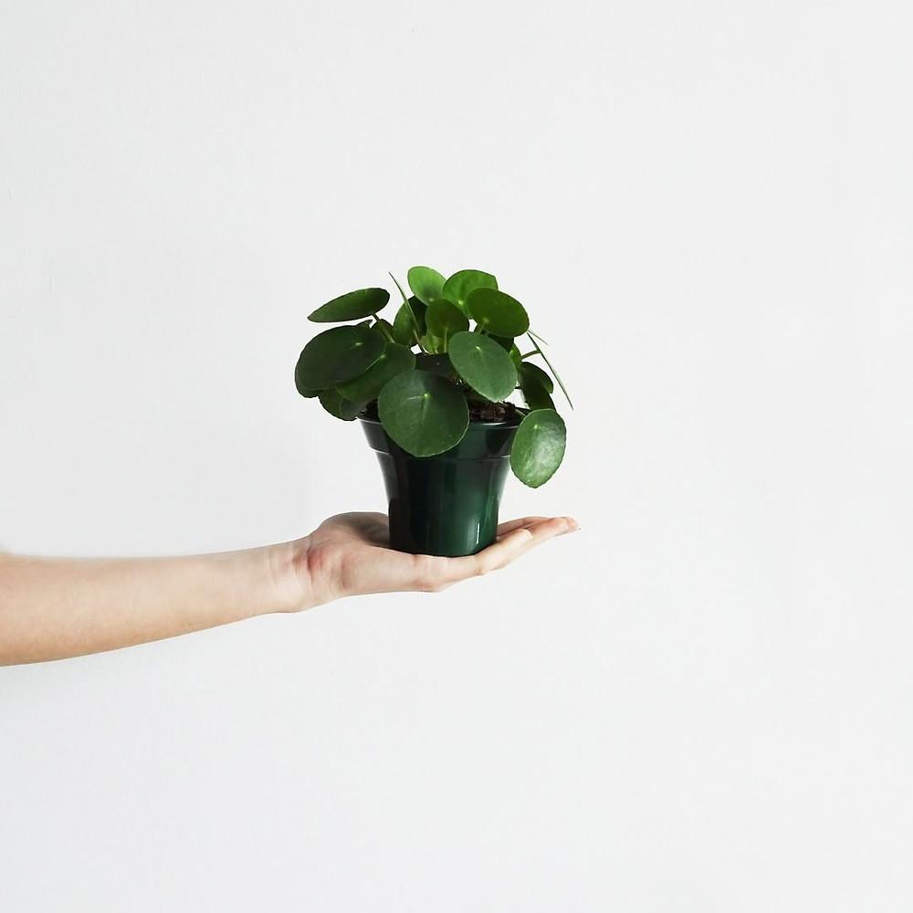 Pilea Peperomioides Trending Popular Plants 2018