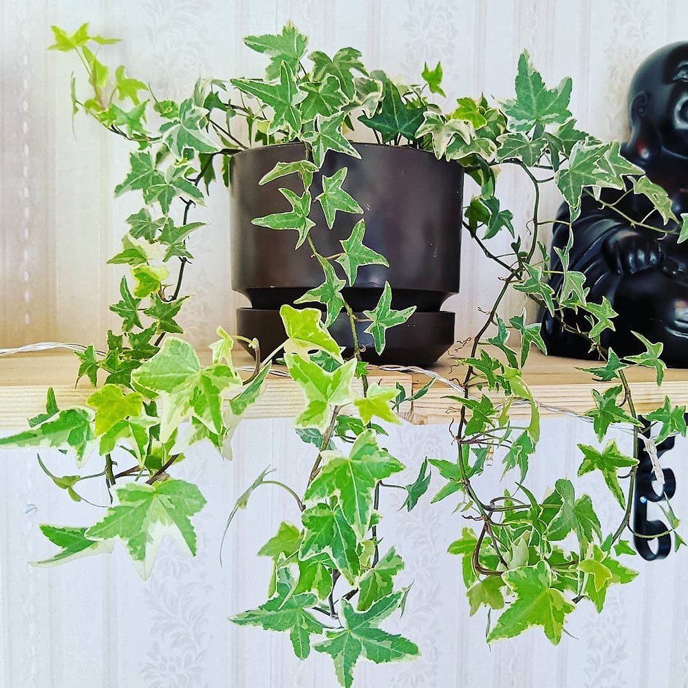 English Ivy Healthy Home Air Purifying Houseplants