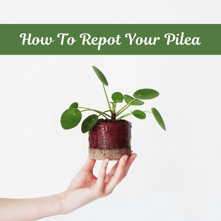 How To Repot Your Pilea Properly