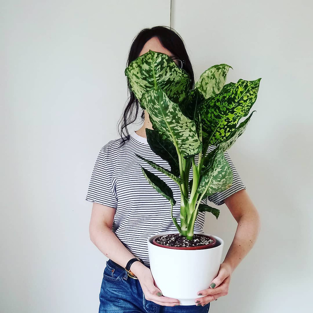 Low Light Houseplant Dieffenbachia