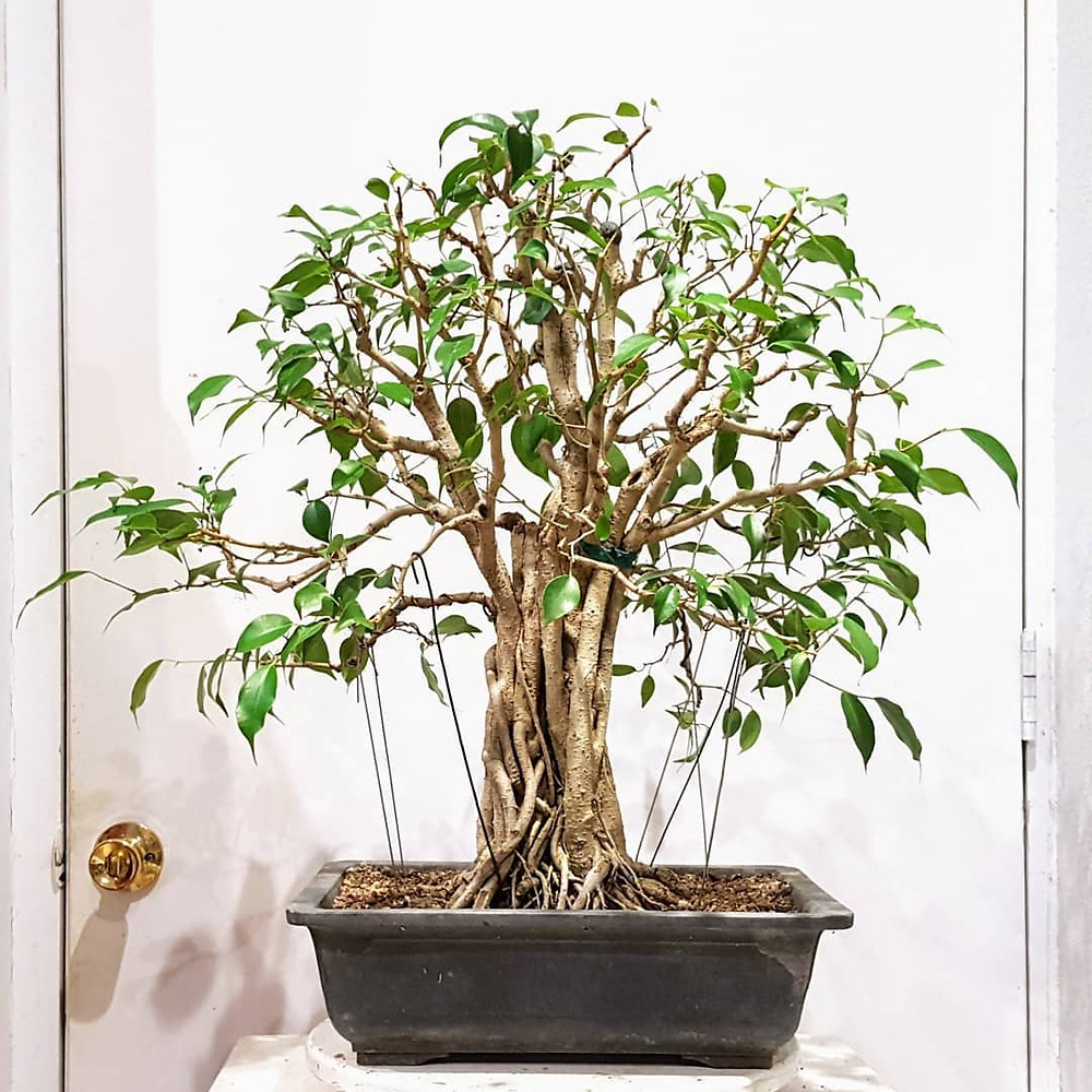 Weeping Fig Healthy Home Air Purifying Houseplants