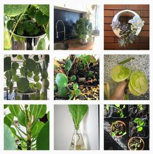 Pilea Peperomioides Instagram Profile pileapeperomioides