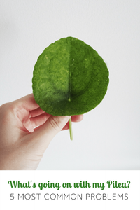 Pilea Peperomioides Most Common Problems